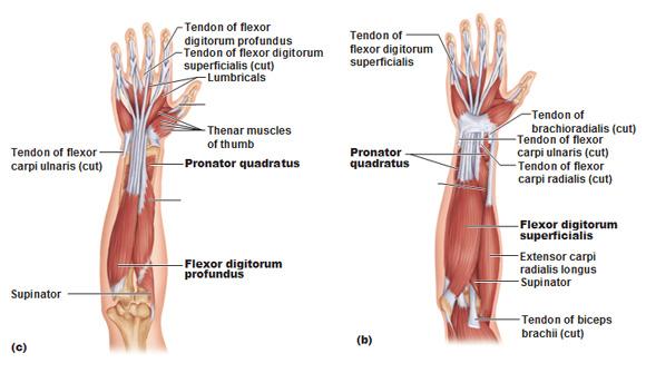 kinesiology: shoulder and arm | jiu jitsu smc crossing arm wiring diagram